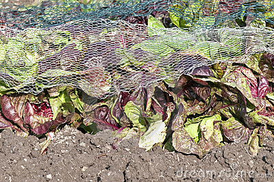 Red lettuce under a protection net