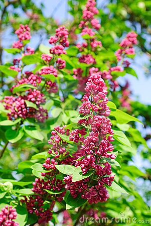 Red lilac