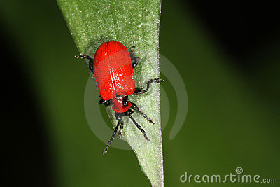 Red Lilly Beetle - Liliocevis lilii