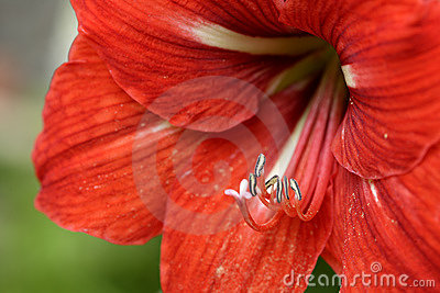 Red lily flower blossom