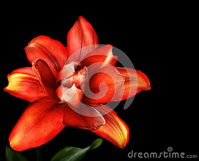 Red lily flower, Lilium