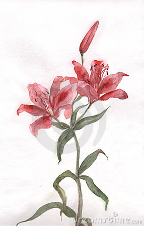 Free Red Lily Flower Watercolor Painting Stock Images - 4230094