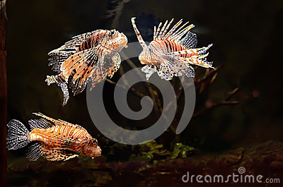 Red lion (Pterois miles) fish