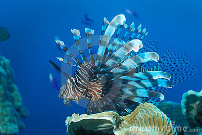 Red Lionfish - Papua New Guinea