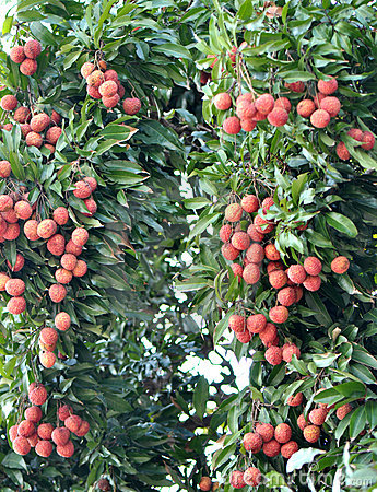 red litchi fruits at tree