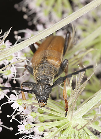 Red Longhorn Beetle (Stictoleptura Rubra) Royalty Free Stock Photos - Image: 16898838