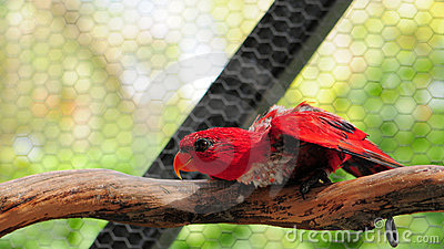 Red Lorikeet Bird
