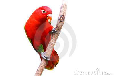 Red lovebird over white