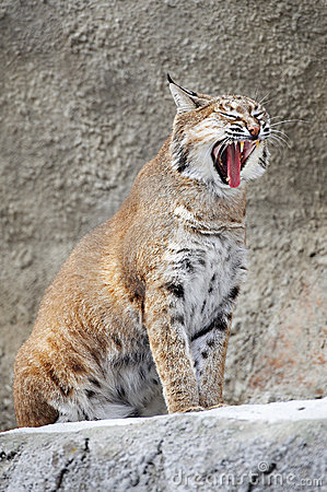Red Lynx on a rock