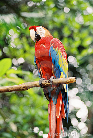 Free Red Macaw Stock Image - 771401