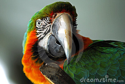 Red macaw head closeup