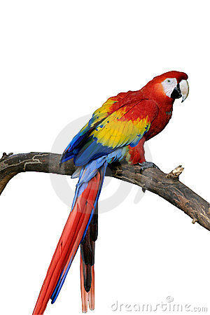 Free Red Macaw Isolated (request) Royalty Free Stock Photo - 124525