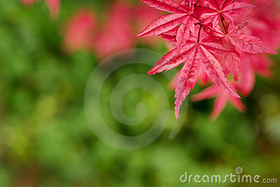 Red Maple Royalty Free Stock Photo - Image: 4844545
