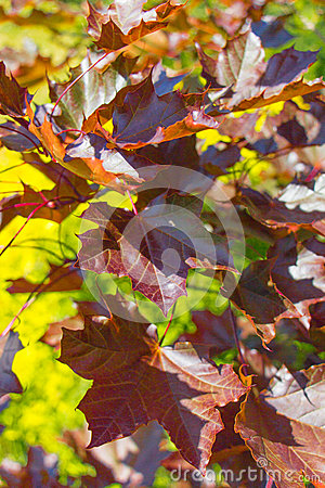 Free Red Maple Royalty Free Stock Photos - 58909318