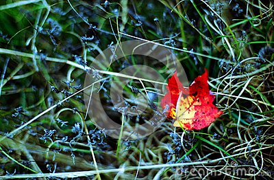 Red maple leaf in the autumn