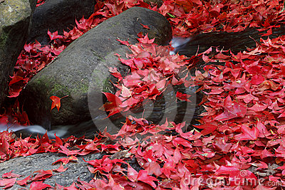 Red maple leaf during fall