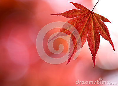 The red maple leaf in forest