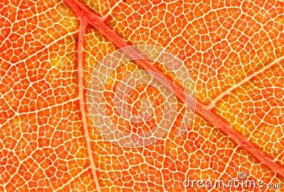 Red Maple Leaf Macro