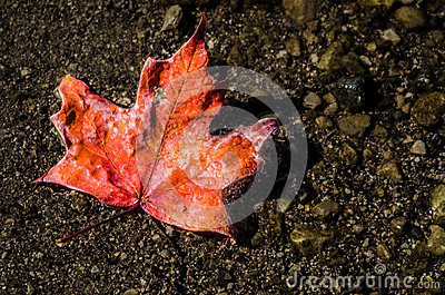 Red maple leaf off the tree