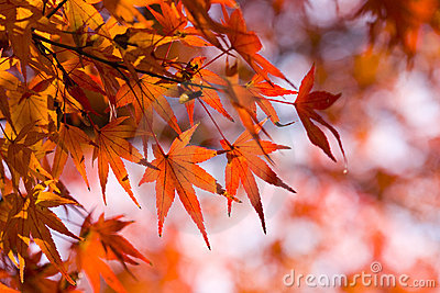 Red maple leaves autumn background