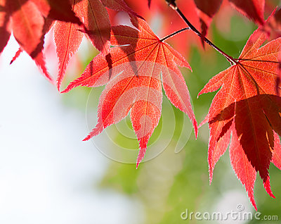 Red maple leaves in the forest