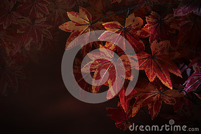 Red maple leaves on tree branch with red blurry background use as natural winter autumn fall background or backdrop and multipurpo