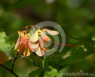 Red Maple Seeds for background