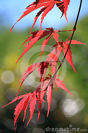 Free Red Maple Tree Closeup Royalty Free Stock Images - 31231259