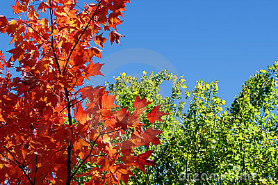 Red maple tree green leaves and sky