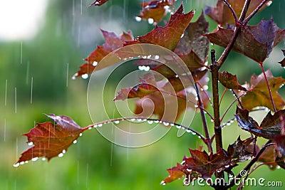 Red maple under the rain