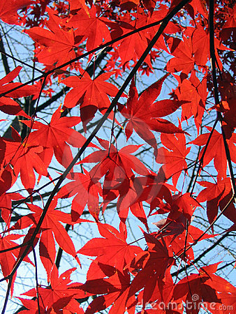 Free Red Maples Stock Images - 813234