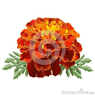 Free Red Marigold (Tagetes) Stock Photo - 22779130