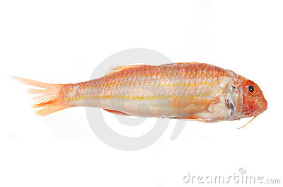 Red mullet fish stock photo image 5687260 for Red mullet fish