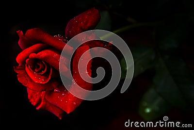 Red  n Fragrant Rose - Hybrid Tea