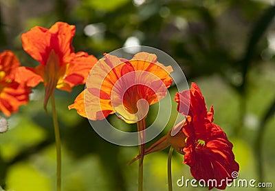 Red nasturtium flowers close up
