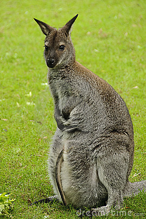 Red-necked wallaby (Bennett s wallaby)