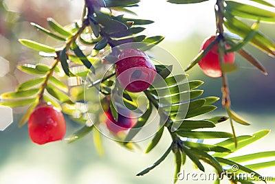 Yew tree fruits