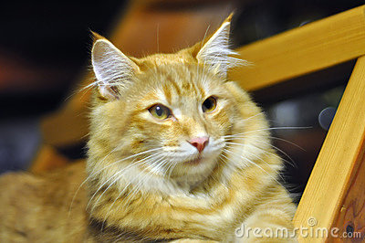 Red norwegian forest cat portrait