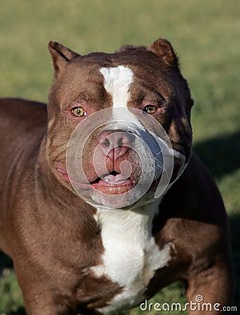 Red Nose Pitbull portrait