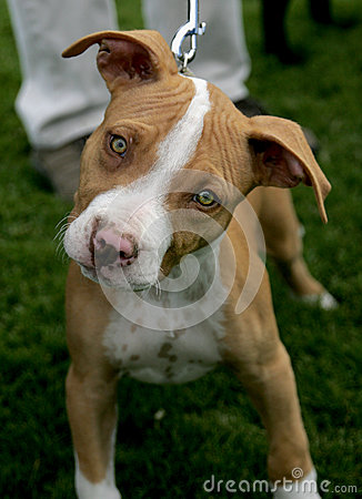Red Nose Pitbull puppy