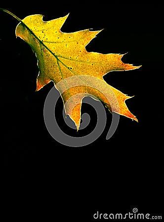 Red Oak Autumn Leaf