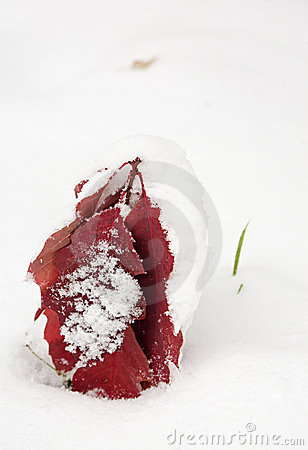 Red oak leaves covered with first snow