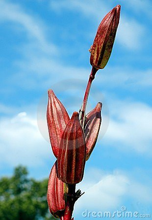 Red Okra Plant