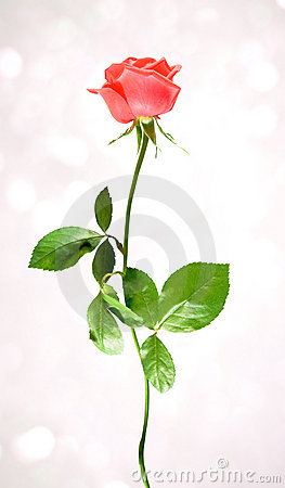 Free Red One Rose Royalty Free Stock Image - 19650636