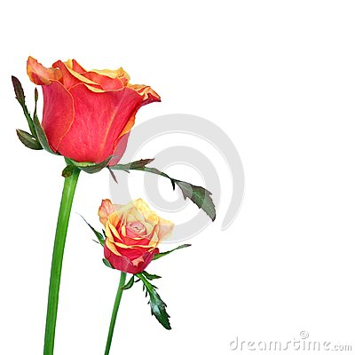 Red and orage roses on white background