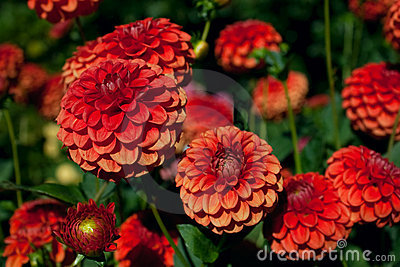 Red and Orange Dahlias against Foliage Background