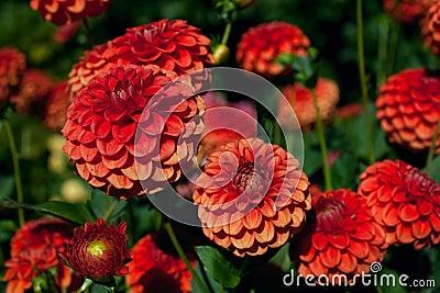 Red and Orange Dahlias against Foliage Background
