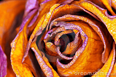 Red-orange Rose - rote Rose