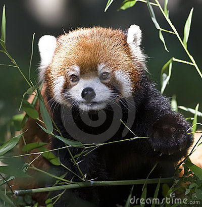 Free Red Panda Stock Images - 10563364