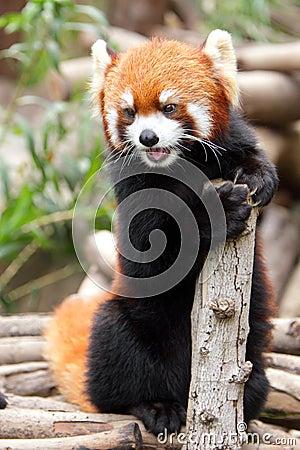 Free Red Panda Stock Photo - 25340500